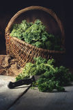Fresh Kale in a Basket on a wooden Table Royalty Free Stock Photos