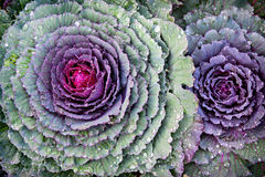 Fresh Kale Close Up. Close up of kale or cabbage with water dropplets Stock Photos
