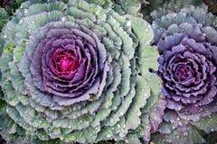 Fresh Kale Close Up Stock Photos
