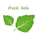 Fresh kale  illustration Stock Photos