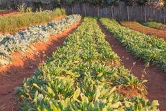 Fresh kale plants on a field Stock Image