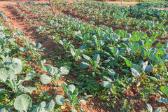 Fresh kale plants on a field Royalty Free Stock Images