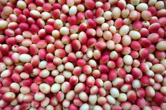 Fresh `Karanda` or `Carunda` fruits have a lot of vitamin C and have properties as a herb. These fruits have sour taste sour and a little bit bitter, an Royalty Free Stock Photography