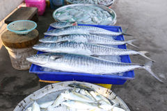 Fresh king mackerel fish. On ice backet in the market Stock Images