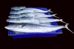 Fresh king mackerel fish isolated. Fresh king mackerel fish on ice backet isolated on black  background Royalty Free Stock Images