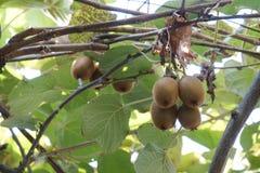 Fresh kiwi hang on a branch stock image