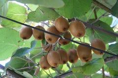 Fresh kiwi hang on a branch stock images