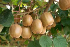 Fresh kiwis. Kiwifruit Actinidia. Fresh kiwis on tree growing. Kiwifruit Actinidia. Outdoor stock photography