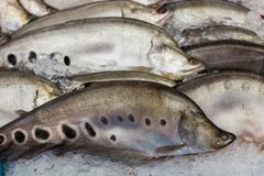 Fresh knife fish on the ice in supermarket. Knife fish on the ice in supermarket stock photography