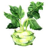Fresh kohlrabi with green leaves on isolated white backround Stock Photography