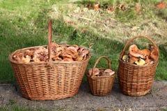 Fresh Lactarius deliciosus - also  as the saffron milk cap and r Stock Image