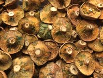Fresh Lactarius resimus mushrooms Royalty Free Stock Images