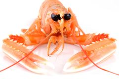 A fresh langoustine in close-up. Close up on a crustacean on a white background royalty free stock image