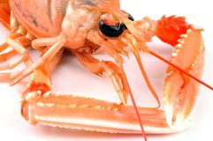 Fresh langoustine in close-up. Closeup on a crustacean on a white background stock photography