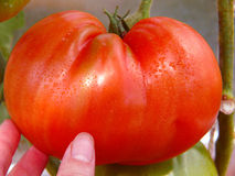 Fresh Large meat tomato. Royalty Free Stock Images