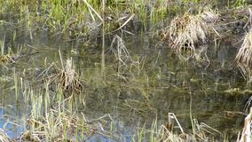 Natural pond with clean water and grass on the bottom and on the banks. Fresh and last year`s grass in the banks at the bottom of the spring pond stock footage