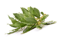 Fresh Laurel leaves branch. On the white background Royalty Free Stock Image