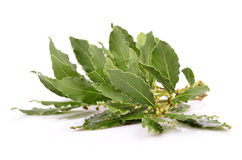 Fresh Laurel leaves branch. On the white background Royalty Free Stock Photos
