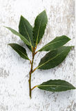 Fresh Laurel Stock Photo