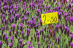 Fresh lavander flowers at the street market Stock Photo