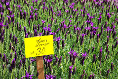 Fresh lavander flowers at the street market Royalty Free Stock Photo
