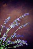 Fresh lavender Stock Image