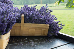 Fresh lavender in a basket. Bunches of fresh lavender in a basket Stock Image