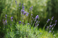 Fresh lavender in bloom in the garden Stock Photography