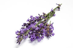 Fresh Lavender blossoms Stock Photo
