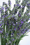 Fresh lavender close up Stock Images