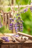 Fresh lavender dried on laundry lines in summer. On wooden table royalty free stock photography