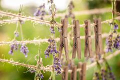 Fresh lavender drying on a line with clasps. In garden royalty free stock images