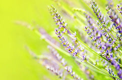Fresh lavender field. Beautiful natural border, floral background, macro on tiny flowers Royalty Free Stock Image