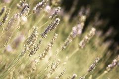 Fresh lavender Royalty Free Stock Image
