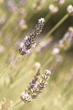 Fresh lavender Stock Images