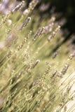 Fresh lavender Stock Photos