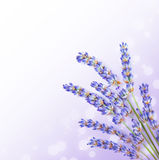 Fresh lavender flowers border. Little posy of aromatic medicinal herb, fresh plant of purple flower, spa aromatherapy, organic floral branch on white stock images