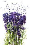 Fresh lavender flowers isolated on white Royalty Free Stock Photos