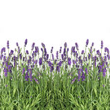 Fresh lavender flowers isolated on white Stock Images