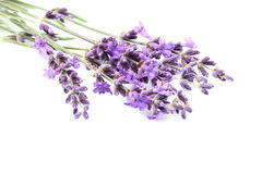 Fresh lavender flowers isolated. Royalty Free Stock Photography