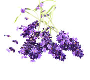 Fresh lavender flowers over white Royalty Free Stock Images