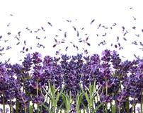 Fresh lavender flowers on white Royalty Free Stock Image