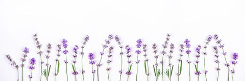 Fresh lavender flowers on a white background. Lavender flowers banner. Copy space.