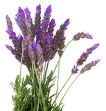 Fresh lavender flowers on white Royalty Free Stock Photo