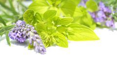 Fresh lavender and marjoram, close up Stock Images