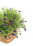 Fresh lavender plant in basket over white. Summer flowers Royalty Free Stock Images