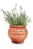 Fresh lavender plant. In a clay pot royalty free stock image
