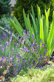 Fresh lavender plants. Lavender herb plant in flower growing in home garden Royalty Free Stock Photo