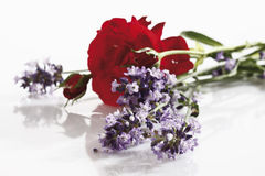 Fresh Lavender and red rose flowers Stock Photos