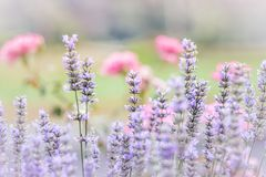 Pretty Fresh Lavender royalty free stock photo